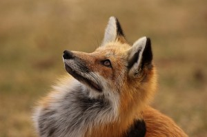 le corbeau et le renard rusé